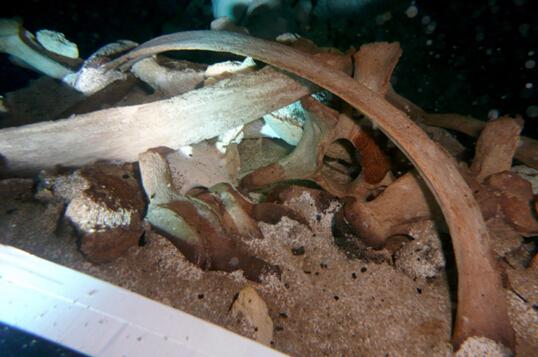 墨西哥发现存活于1万年前远古未知巨型树懒物种
