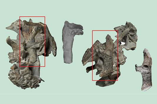 """科学家在新西兰发现远古巨型企鹅""""怪兽鸟""""化石"""
