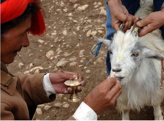 西藏民俗幸运的放生羊