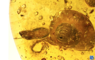 科研人员发现一亿年前带触角的蜗牛琥珀