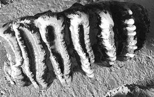 陕西汉中天坑群溶洞首次发现剑齿象化石